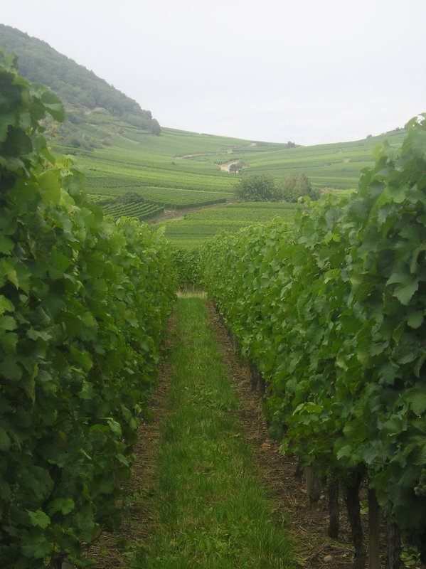 Alsace Grape Vineyards